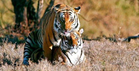 Two tigers mating