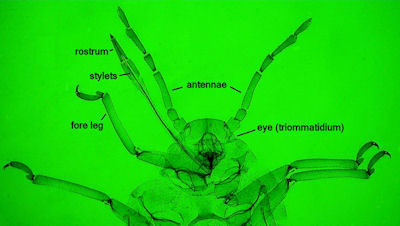 Trama troglodytes showing rostrum, stylets, antennae, fore leg and eye