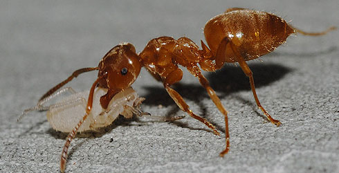 Ant worker carries aphid to new host plant