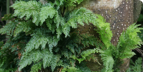 Killarney Fern in the Azores