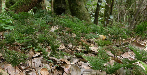 Killarney fern in laurel woodland, N.W. Madeira