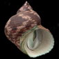 The shells of Turbo species
