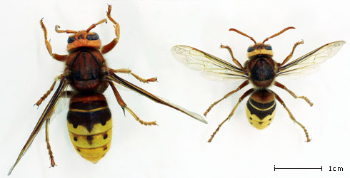 Vespa crabro queen and worker
