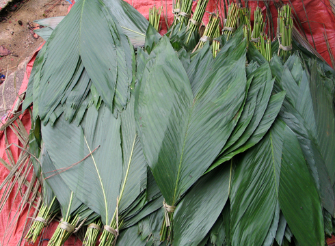 Bundles of cut fishtail palm leaves
