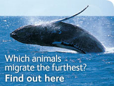 Which animals migrate the furthest? Find out here