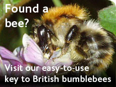Found a bee? Visit our easy-to-use key to British bumblebees