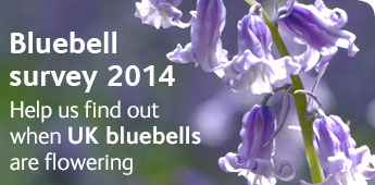 Bluebell survey 2013: Help us find out when UK bluebells are flowering