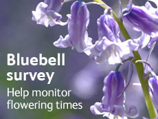 Bluebell survey - help monitor flowering times