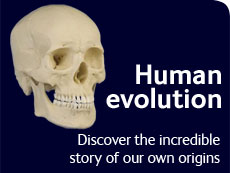 Human evolution - discover the fascinating story of our origins