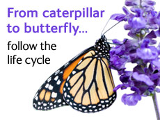 From caterpillar to butterfly ... follow the life cycle.