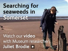 Searching for seaweeds in Somerset