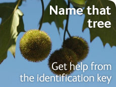 Name that tree -  get help from the identification key
