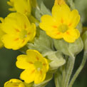 Cowslips, Primula veris, in the wildlife garden at the Museum