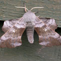 Poplar hawk-moth, Laothoe populi