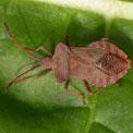 Squash bug, Coreus marginatus