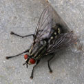 Flesh-fly, Sarcophaga carnaria