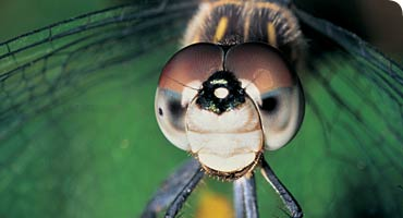 The Incredible World of Dragonflies