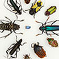 Beetle Diversity: The Next Generation