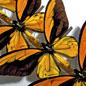 Natural Histories: Birdwing Butterflies