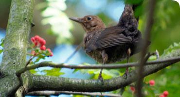 Why Aren't All Blackbirds Black?