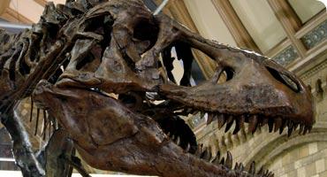 Tyrannosaurus rex versus the Duck-Billed Dinosaur