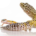 Gaudy Geckos