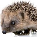 Autumn Hedgehogs