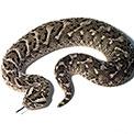 Ssss'ing Serpents