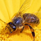 The Buzz about Honey Bees