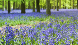 Record your bluebell sightings and help scientists tell if flowering seasons are changing.