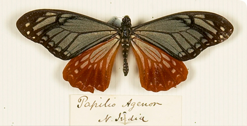 An edible butterfly (Papilio agenor) from Wallace's specimen display showing how edible butterflies mimic inedible butterfly species to avoid being eaten by predators, Drawer 19.