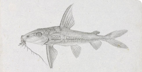 Wallace's drawing of the fish Ageneiosus militaris, made on the Rio Negro in South America in 1852, catalogue number 88oWAL(4).