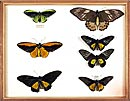 Specimens of birdwing butterflies (Papilionidae)