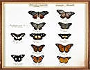 Butterfly specimens showing Batesian mimicry