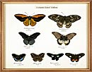 Butterfly specimens showing sexual dimorphism