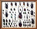 Specimens of Asian beetles