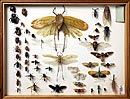 Specimens of bugs, crickets and other insects