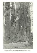 Photographic proof print of a redwood tree