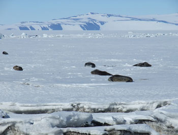 Seals sleeping on the frozen Ross Sea in front of Scott Base © Antarctic Heritage Trust / J Hamill