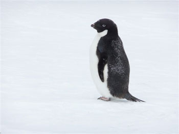 Adele penguin © Antarctic Heritage  Trust