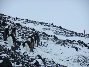 Seven young Adelie penguins on the side of Observation Hill © Antarctic Heritage Trust / J Hamill
