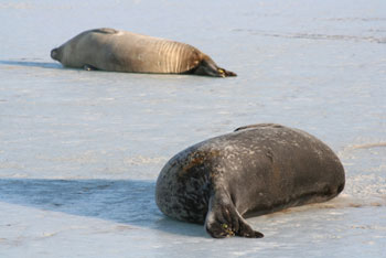 What seals do best © Antarctic Heritage Trust