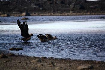 Skua bath! © Antarctic Heritage Trust