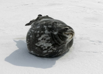 The Weddell Seal © Antarctic Heritage  Trust