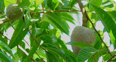 jamaican custard apple - photo #33