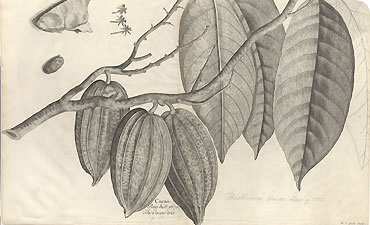 Illustration of the chocolate tree from Sloane's Natural History.