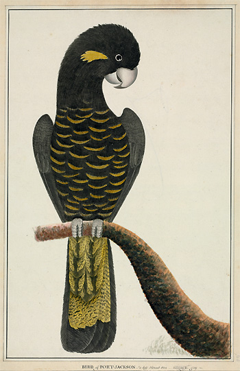 Yellow-tailed black cockatoo, Calyptorhynchus funereus