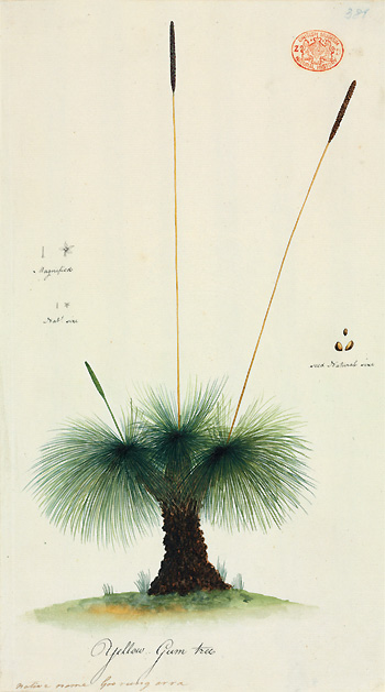Grass tree, Xanthorrhoea australis