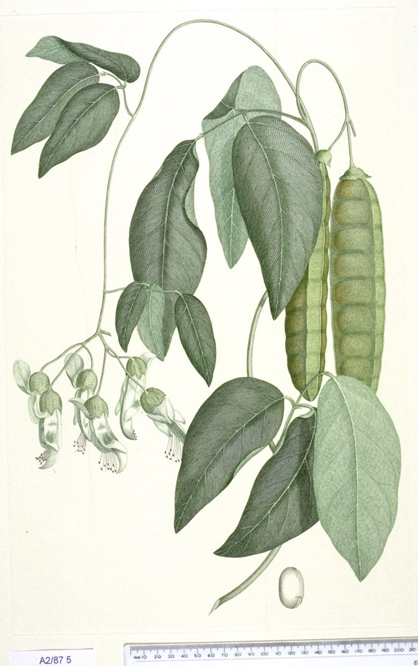 Mucuna Gigantea - approx. actual size - this image digitally watermarked and copyright NHM
