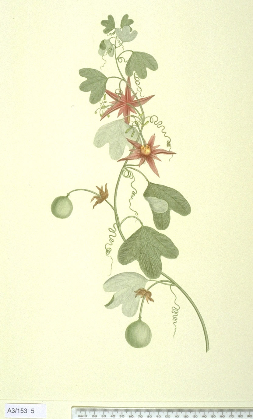 Passiflora Aurantia - approx. actual size - this image digitally watermarked and copyright NHM